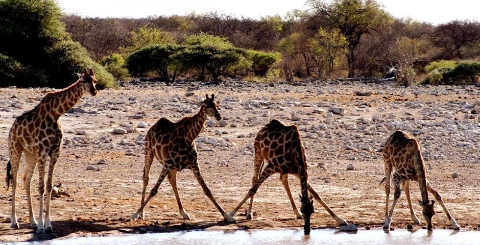 Giraffer i Sydafrika
