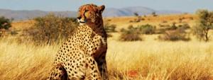 Gepard i Krugerparken i Sydafrika