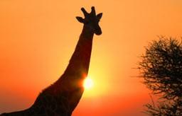 Giraff i Sydafrika