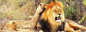 Lejon i Sydafrika