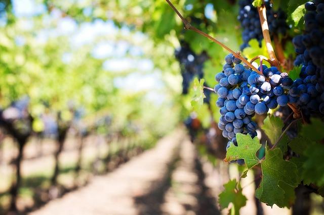 vingård Italien