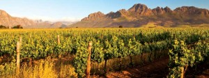 Vinodling Sydafrika